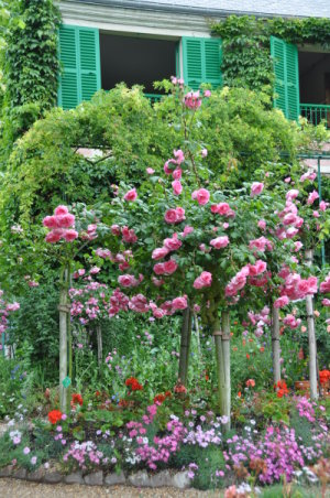 rosiers tiges à Giverny