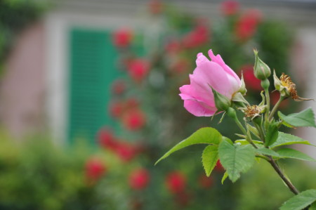 Rose à Giverny