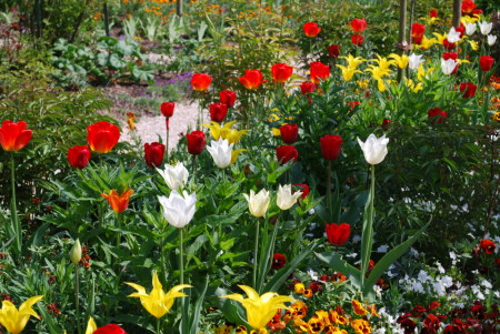 Tulipes à Giverny