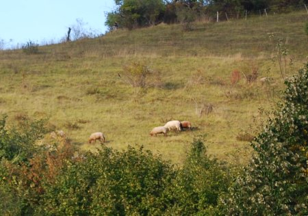 Moutons à Giverny