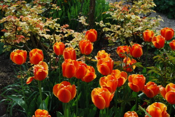 tulipes orange