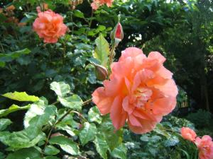 Rose orange dans les jardins de Monet à Giverny