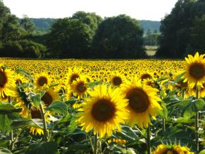 champ de tournesols en vallée d'Eure